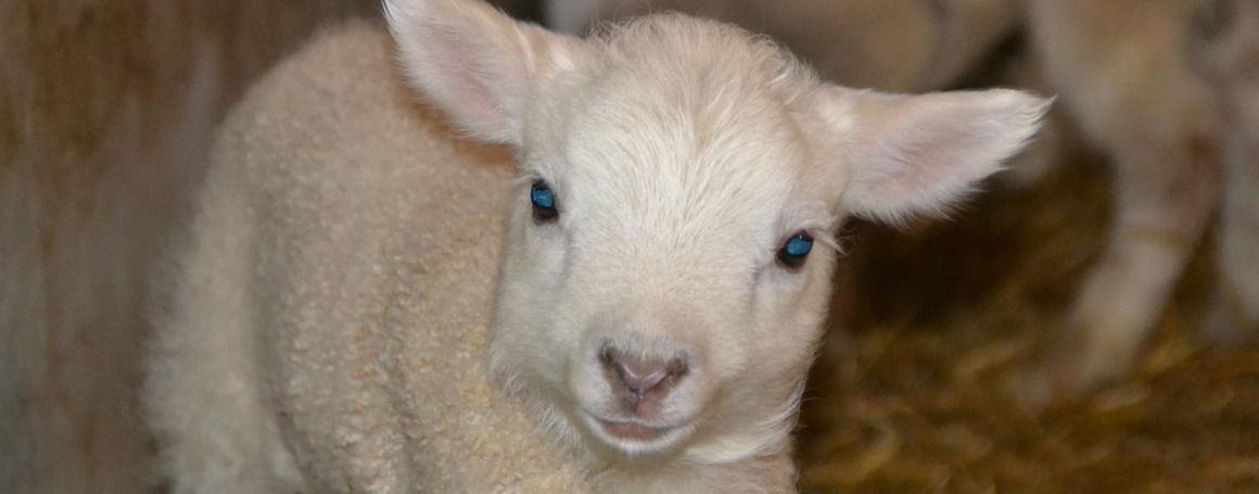 Gångemads fårgård i Fotskäl