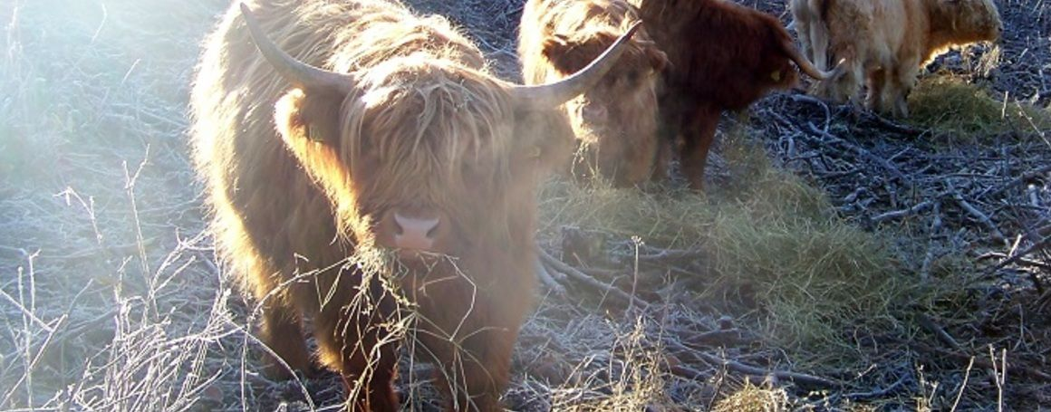 Ringsegårds Highland Cattle