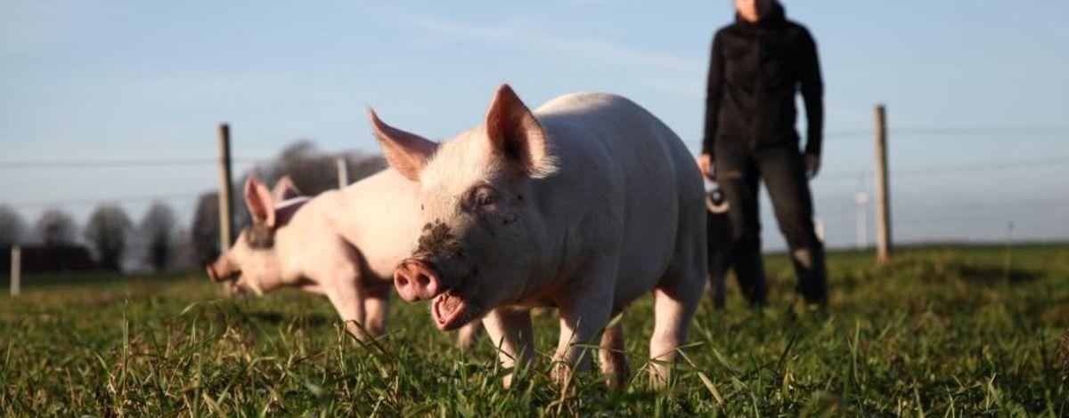 Pig o Glad